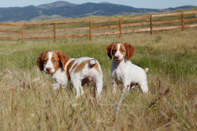 Image of: Dog Training Quail Forever How To Gradually Train Puppies Into Stylish Bird Dogs