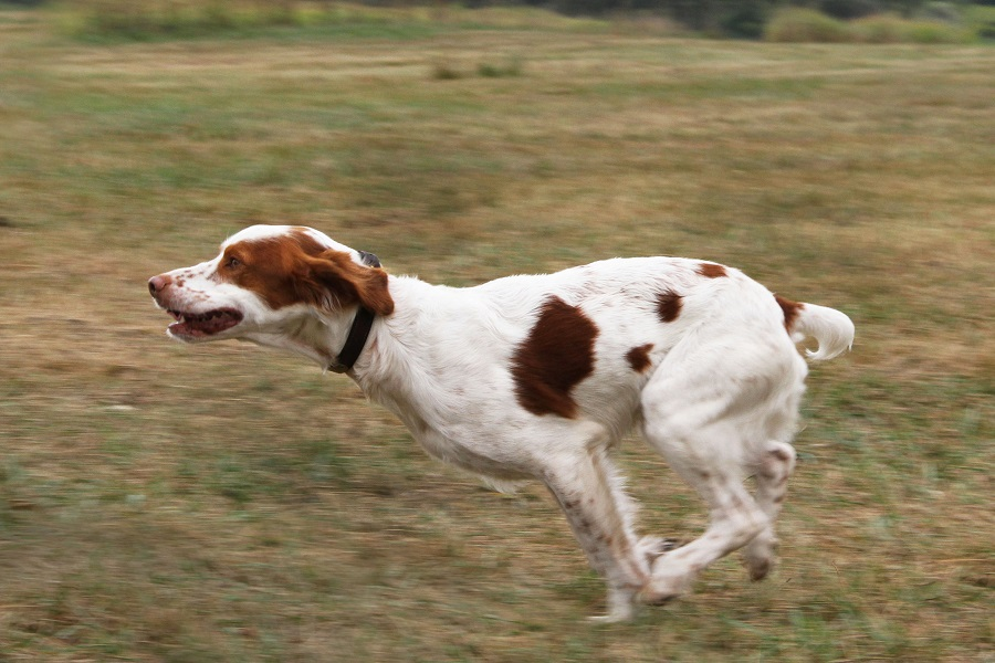 Brittany - Bird Hunting Dog