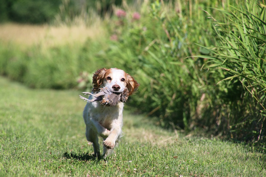 Image of: National Championship Bird Dogs The Spaniel Breakdown