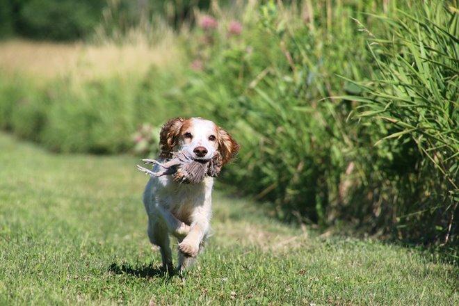 Bird Dogs: The Spaniel Breakdown
