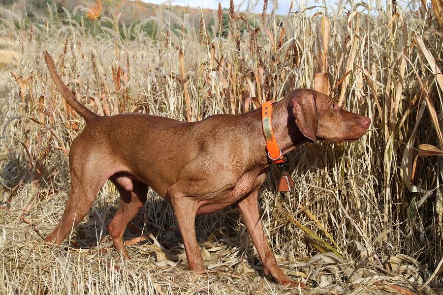 Vizslas pheasant hunting dogs