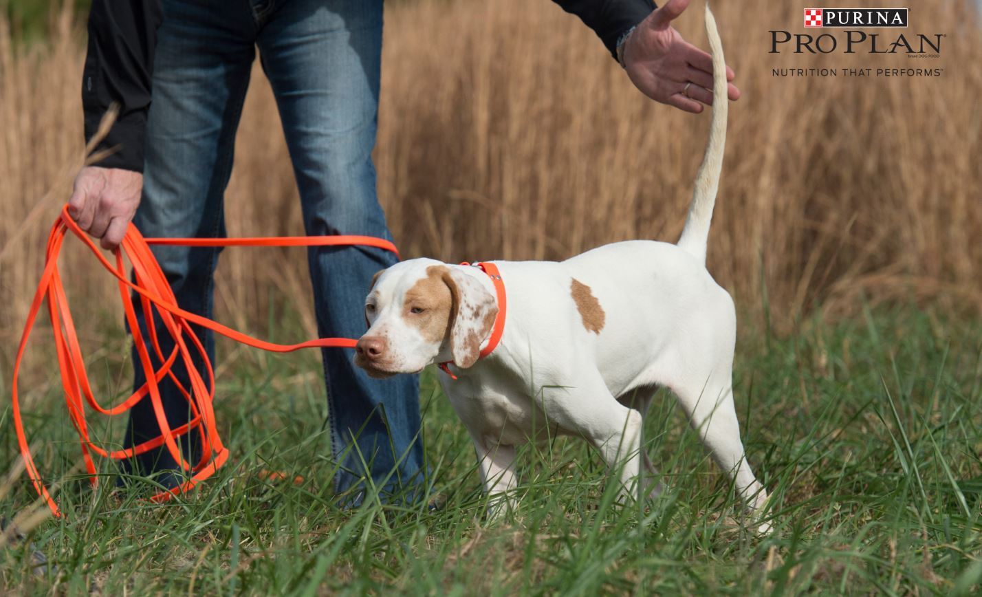 Image of: National Championship Starting Bird Dog Puppy Right Centers On Concepts Socialization Building Prey Desire And Conditioning Your Puppy To Field Sights And Sounds Pheasants Forever Key Early Stages To Training Bird Dog Puppy
