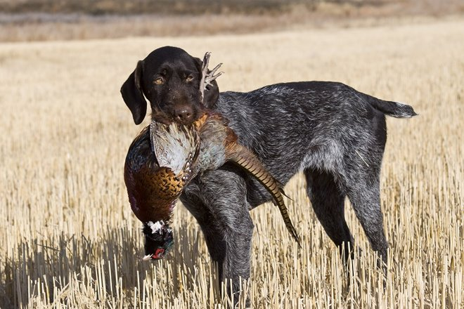 The-German-Wirehaired-Pointer-A-Bird-Dog -That-Does.aspx?maxsidesize=660&width=440&height=500