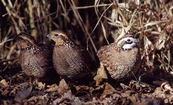 The quality and quantity of upland habitat is what ultimately has the biggest impact on quail numbers.