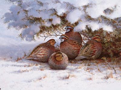 Winter Covey-Bobwhite Quail - Gromme